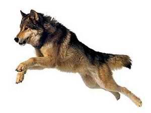 آموزش سگ ژرمن شپرد